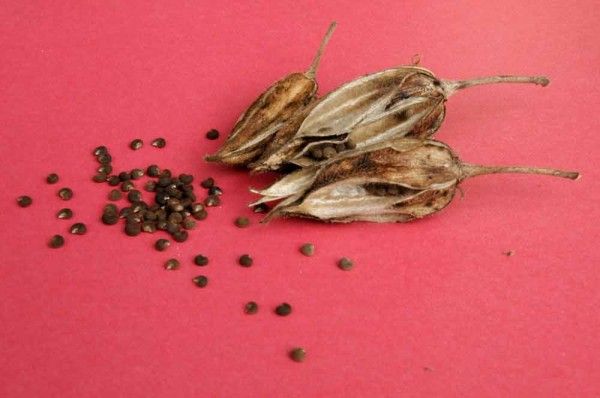 ambrette-seeds-and-pods-for-web