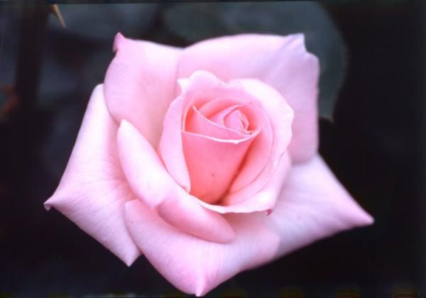 rose_fukuyama-02