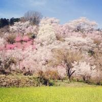 桜前線と一緒に旅してみませんか?桜の人気名所をご紹介♪【東北地方】