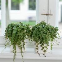 初心者でも手が出しやすい!小さくて卓上で育てられる観葉植物まとめ☆
