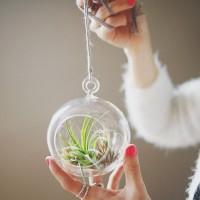 土のいらない不思議な植物。エアプランツを育ててみませんか?