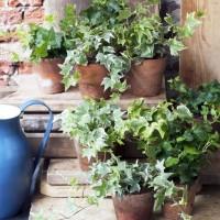 初心者さんにもおすすめ。観葉植物【アイビー/ヘデラ】の育て方と楽しみ方をご紹介☆