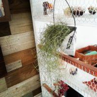 モシャモシャのフサフサ♡お世話が簡単なエアープランツ「スパニッシュモス」を育てよう♪