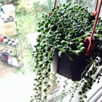 空間を素敵に演出☆垂れ下がる多肉植物7選