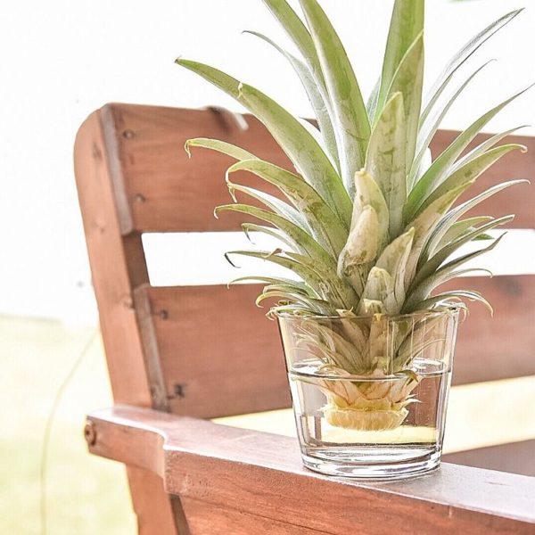 なんの植物だかわかりますか?なんと食べ終わった後のパイナップルの王冠。育てるためにはもちろんちょっとした手間がかかるのですが、身近なものを水耕栽培で楽しむのもいいですね。