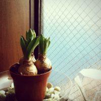 海外のおしゃれなインテリアをお手本にしたヒヤシンスの花の飾り☆