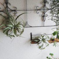 お世話は最小限で大丈夫!オシャレなインテリアとして人気の観葉植物「エアープランツ」をご紹介!