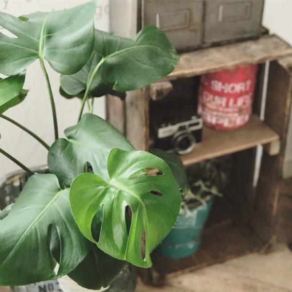 大きい観葉植物30