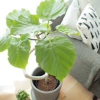 存在感抜群の観葉植物ウンベラータ☆手入れ方法やインテリア実例をご紹介♪