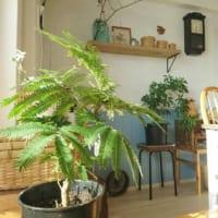 涼しげで柔らかなグリーンが魅力♪人気の観葉植物「エバーフレッシュ」をご紹介