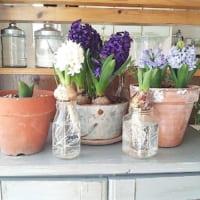 秋からヒヤシンスを育てよう!色々な水栽培・鉢植え・切花などをご紹介☆