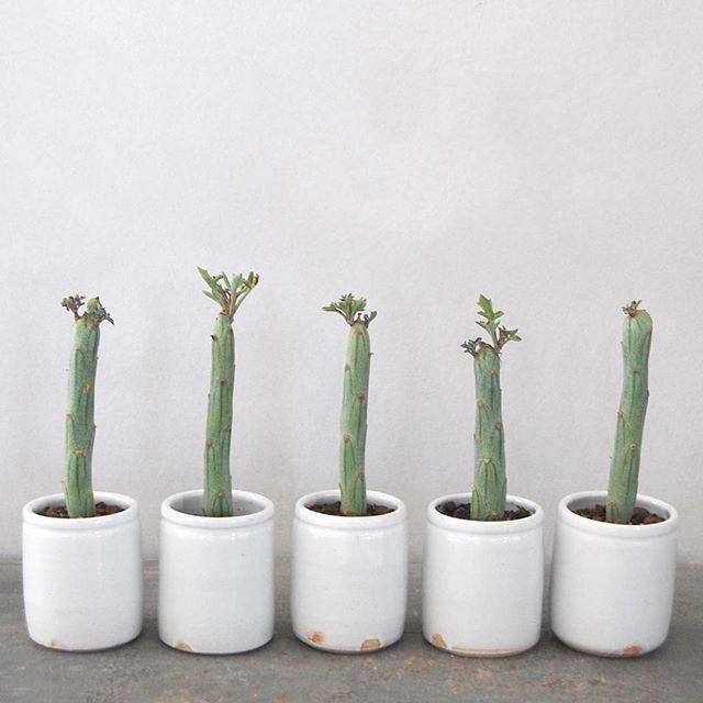 多肉植物は寄せ植えか並べて飾るとおしゃれ!2