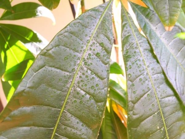 冬の観葉植物救出作戦6