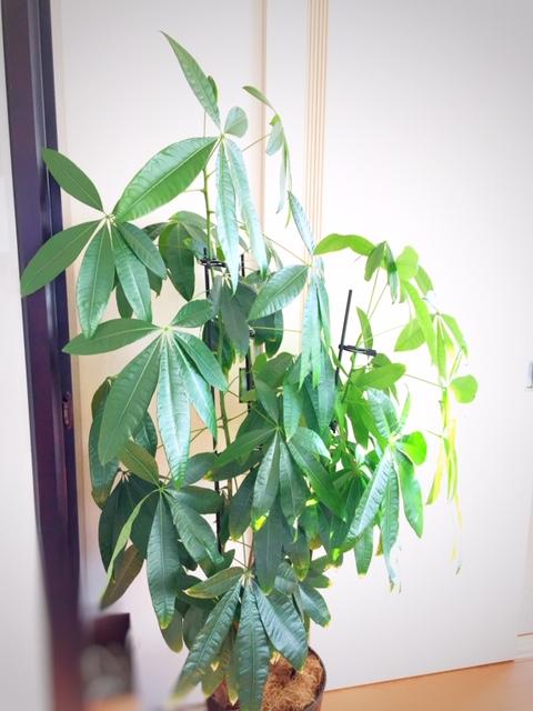 冬の観葉植物救出作戦