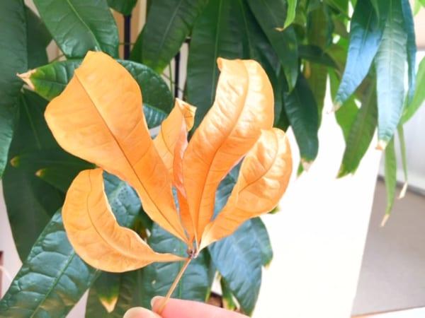 冬の観葉植物救出作戦3