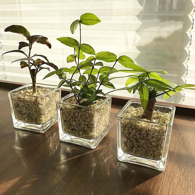 ハイドロカルチャーのミニ観葉植物三兄弟