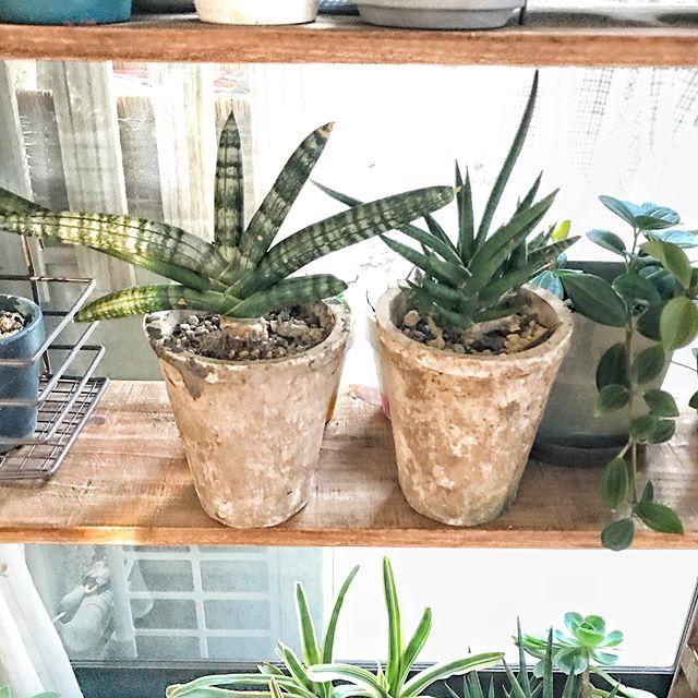 リビングに観葉植物を飾ろう16