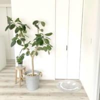 観葉植物初心者さんにオススメ!ゴムの木をお部屋のアクセントに取り入れよう♪