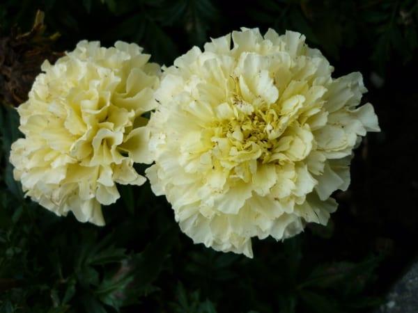 マリーゴールド 花言葉11