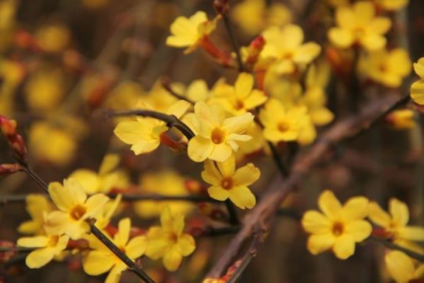 黄色いジャスミン 花言葉