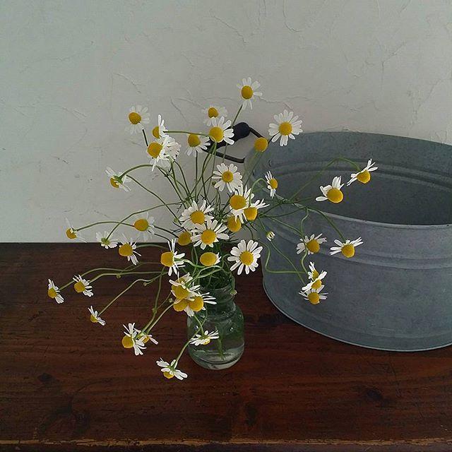 観葉植物 春 ハーブ カモミール