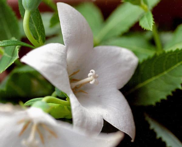 白の桔梗の花言葉「清楚」