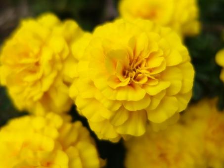 マリーゴールド 花言葉8