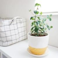 春から観葉植物をお部屋に取り入れませんか?人気の育てやすいグリーンをご紹介