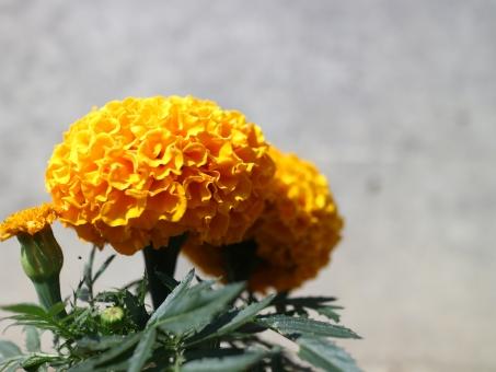 マリーゴールド 花言葉6