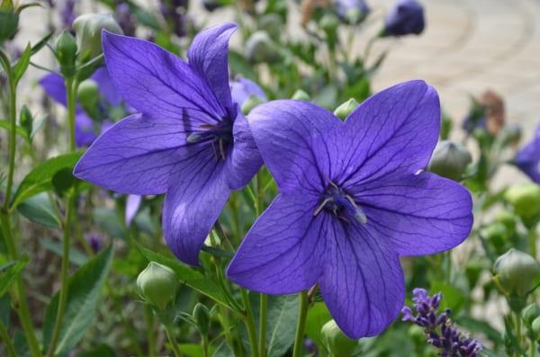 紫の桔梗の花言葉「気品」