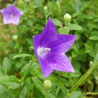 【桔梗(キキョウ)の花言葉】秋の七草である花の色別の意味を解説!