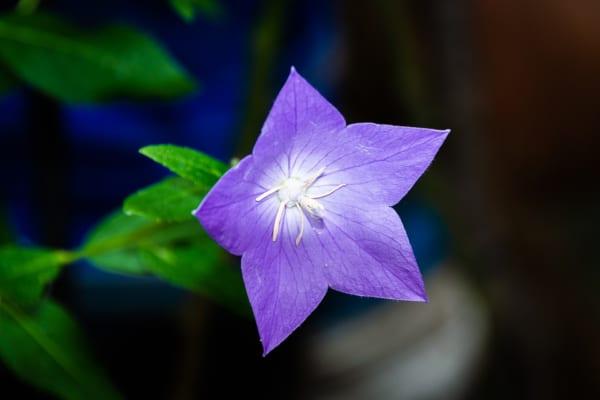 桔梗の花の特徴2.色