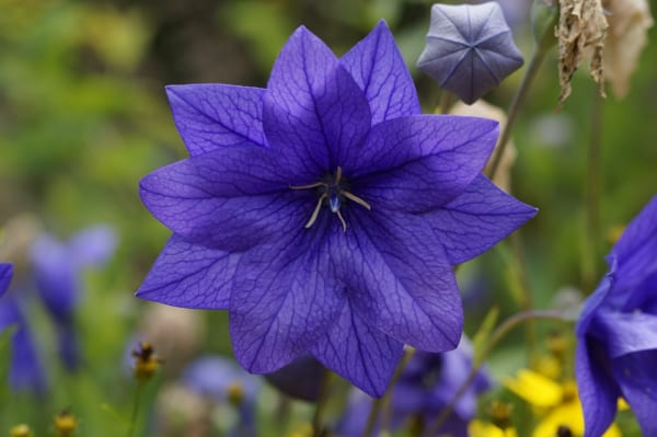 桔梗の花の特徴1.形