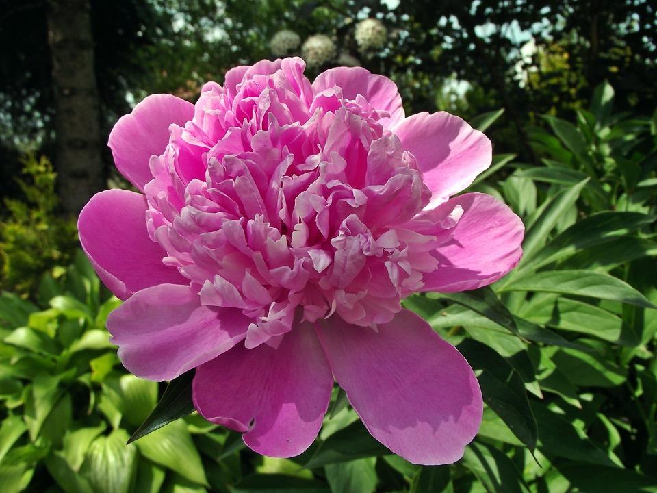 芍薬の形3.翁咲き