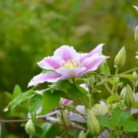 【クレマチスの花言葉】ツル性植物の女王と呼ばれる花の由来や意味を解説