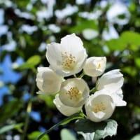 【ジャスミン(茉莉花)の花言葉】「香りの王様」と呼ばれる花を解説!