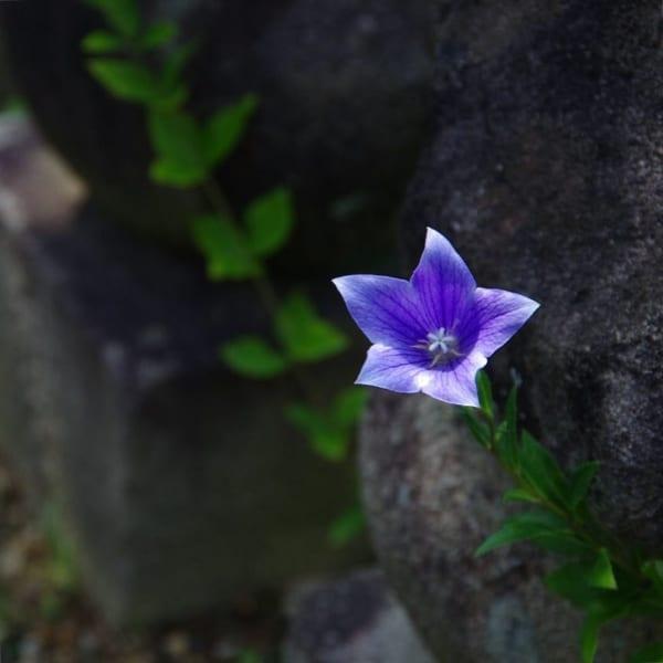 桔梗の花の特徴3.模様