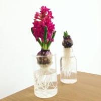 爽やかな香りと可愛いお花に癒される☆お部屋の中にヒヤシンスを飾ろう