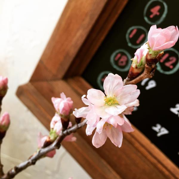 観葉植物 春 桜