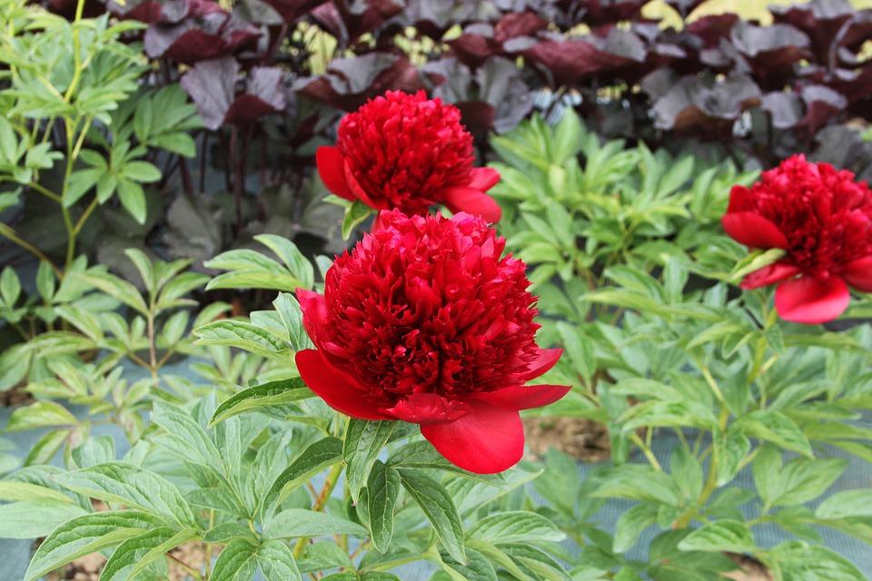 赤い芍薬の花言葉は?