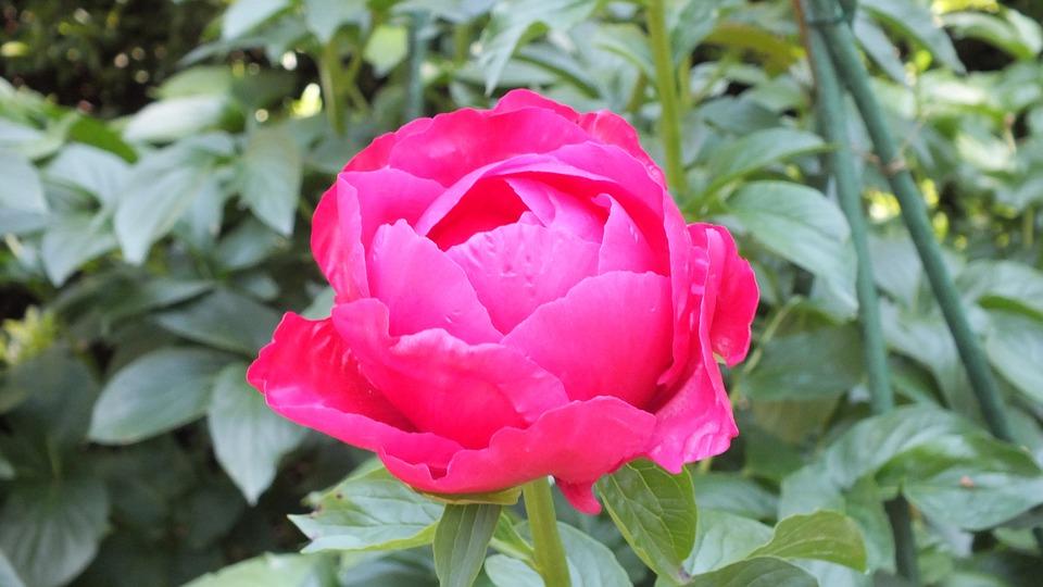芍薬の形4.バラ咲き