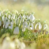 【スノードロップの花言葉】誤解されやすい花の本当の意味を解説