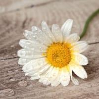 【マーガレットの花言葉】恋占いに使われる「真珠」の花の意味を解説!