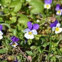 【スミレの花言葉】春の訪れを知らせてくれる小さな花の意味と由来を解説