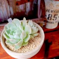 どんな多肉植物がお好みですか?ツヤツヤ&プルンとかわいい「多肉植物」特集!