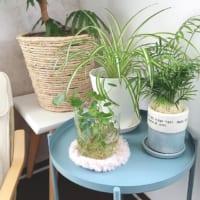 【キャンドゥ・ダイソー】ゲットできるリアルグリーン♪気軽に始める植物のある生活