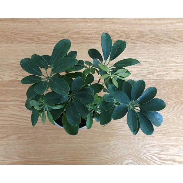 ダイソー 観葉植物5
