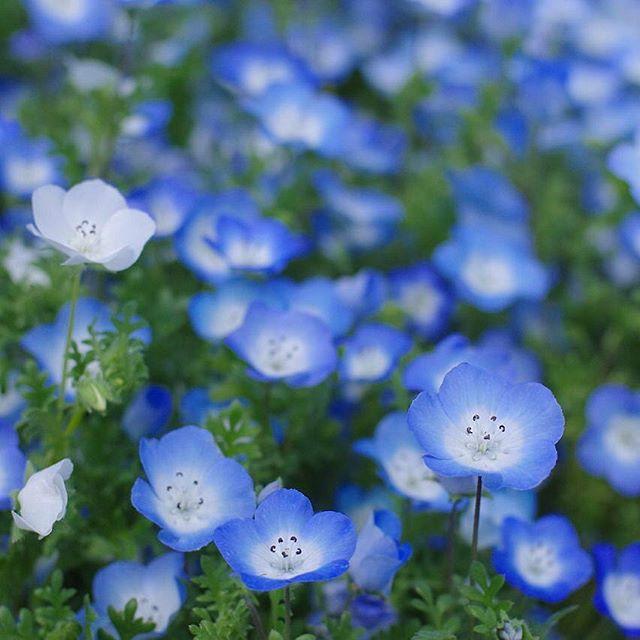 鮮やかな青色がきれいなネモフィラ