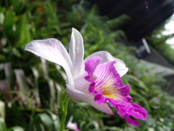 カトレア 花言葉6