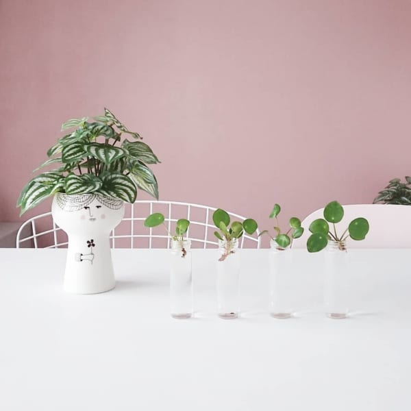 種類豊富な美しい葉が魅力「ピレア」2